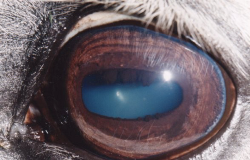 equine iridology