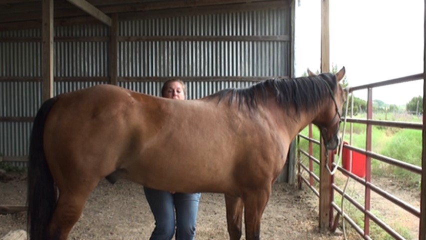 Teaching your horse the belly lift stretch for topline development and abdominal strengthening