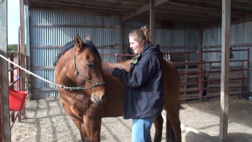 A simple rib stretch to help improve rib cage mobilization in the horse