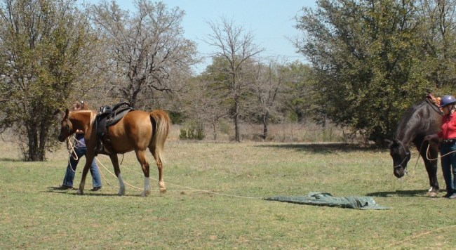 Dragging objects is a great way to build your horse's confidence - www.heavenlygaitsequinemassage.com