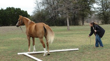 Straddling objects is an important confidence building tool for horses - www.heavenlygaitsequinemassage.com