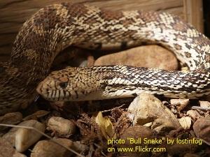 Bull snake - www.heavenlygaitsequinemassage.com