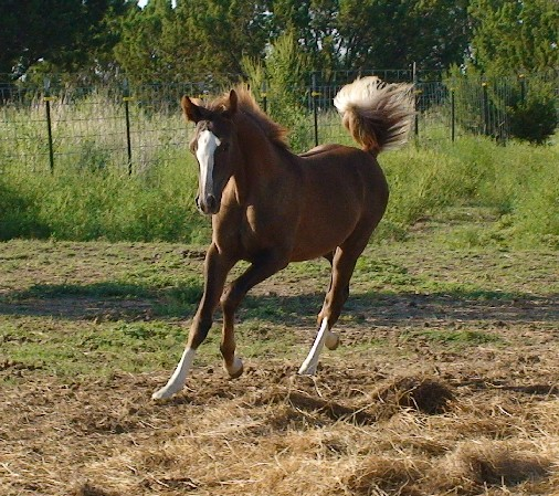 Purbred Arabian filly Siofhice (Touch Of Ice x Siobhana) - http:www.carterequineproductions.com/horses_for_sale.htm